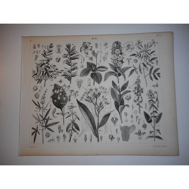 Antique Botanical Engravings - a Pair - Image 4 of 4