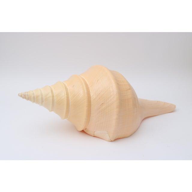 Beautiful Sea Shell in Peche Coloration.