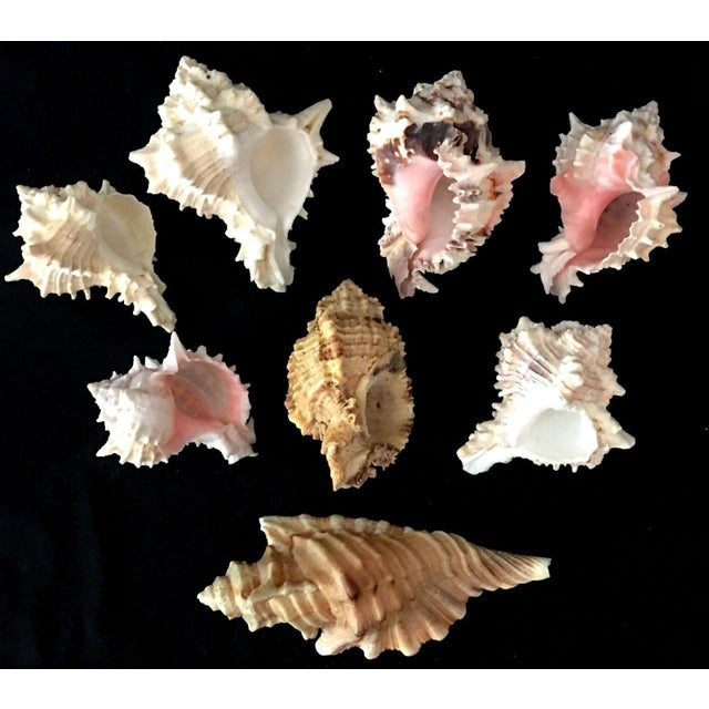 Murex Shell Lot - Set of 8 Shells For Sale - Image 12 of 12
