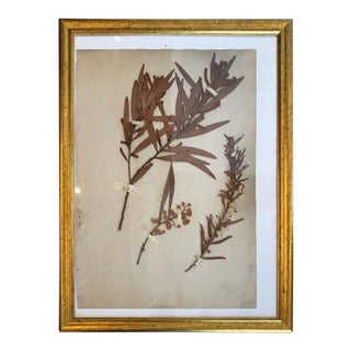 French Dried Botanical in Gilt Frame