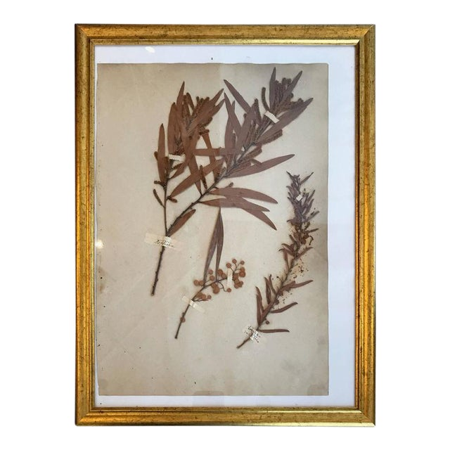 French Dried Botanical in Gilt Frame For Sale