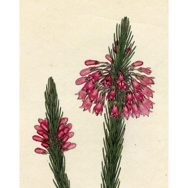 Henry Andrews 1804 Botanical Heather Print - Image 4 of 5