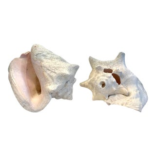 Early 20th Century Large Natural Conch Shells - Set of 2 For Sale
