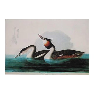 XL Vintage Lithograph of Crested Grebe