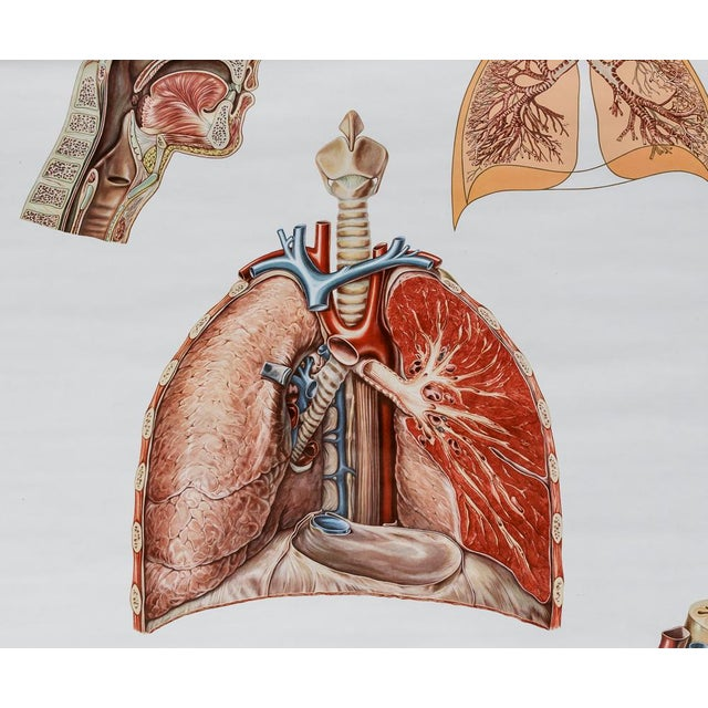 1960s Vintage Circulatory and Respiratory Learning Poster - A Pair For Sale - Image 5 of 7
