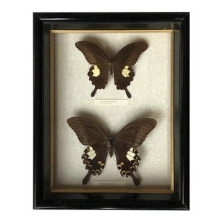 Vintage Mounted Butterflies for Wall Mounting For Sale