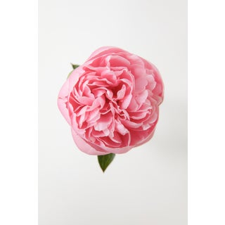 Grace: Pink Peony IV, 2020' Contemporary Photograph by Claiborne Swanson Frank, 30x40