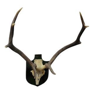 Vintage Black Forest Deer Trophy From Salem - Germany, Baerenkopf 1956 For Sale