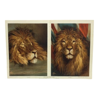 "Realist The Boy's Own Paper Animal Print ""The British Lion"" by Alfred Pearse For Sale"