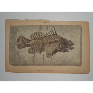 Antique English Fish Fossil Engraving Preview