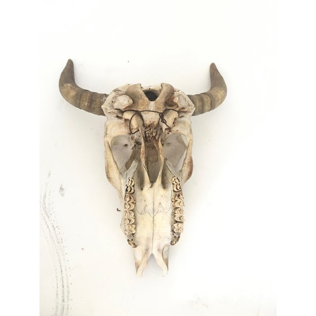 Steer Skull and Horns Wall Mount - Image 3 of 4