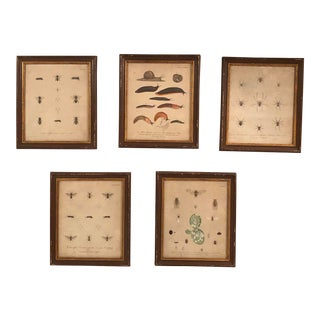 Early 20th Century Insect Prints, Framed - Set of 5 For Sale