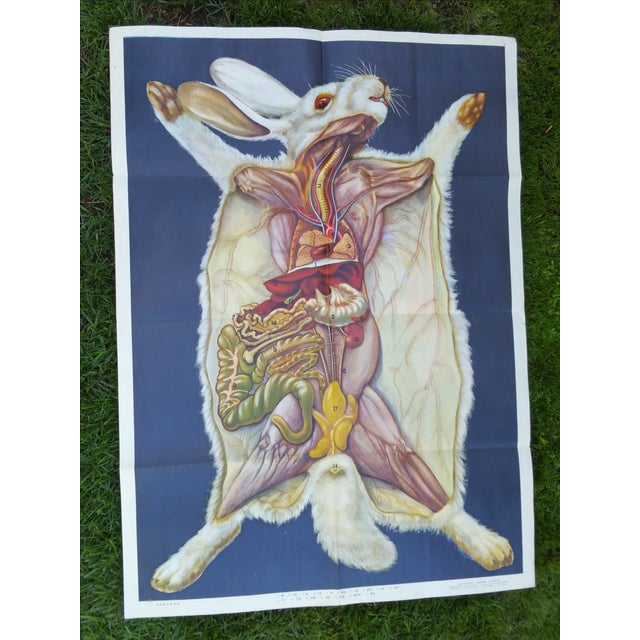 Vintage Anatomy of a Rabbit Poster - Image 2 of 5