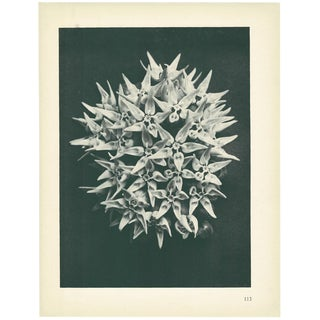 1928 Karl Blossfeldt Original Period Photogravure N113 of Asclepias Speciosa For Sale