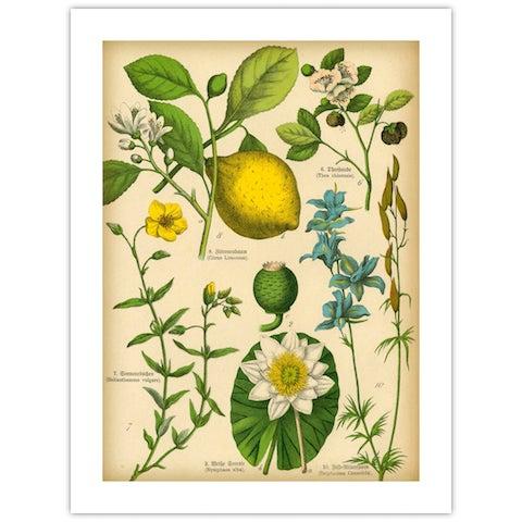 Antique 'Lemon Botanical' Archival Print For Sale - Image 4 of 4