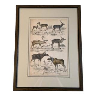 Antique Natural History Deer Print For Sale