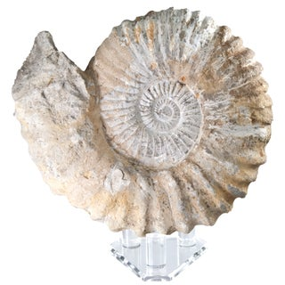 Fossilized Ammonite on Stand