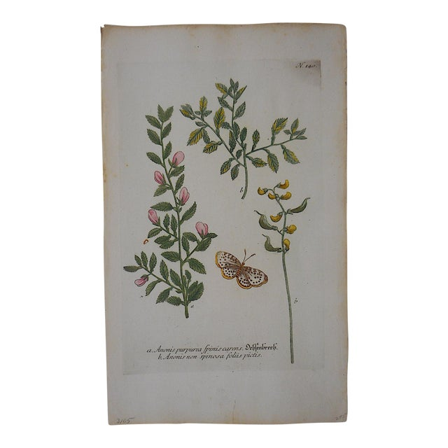 Johann Weinmann Botanical Mezzotint C.1740-Folio Size - Image 1 of 3