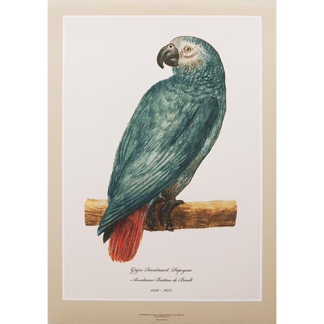 1590s Large Print of Gray Red-Tailed Parrot N2 by Anselmus De Boodt For Sale