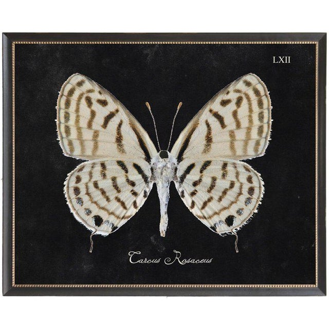 A brown and cream butterfly plate LXII print on black background in black beaded frame. 32x26