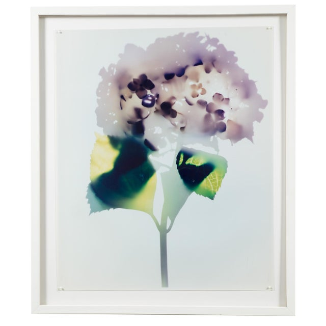 """Hydrangea"" Photogram by Millie Falcaro For Sale"