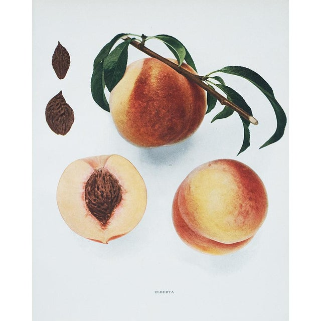 1900 - 1909 1900s Original Fruits of New York Photogravures by U. P. Hedrick - Set of 4 For Sale - Image 5 of 7