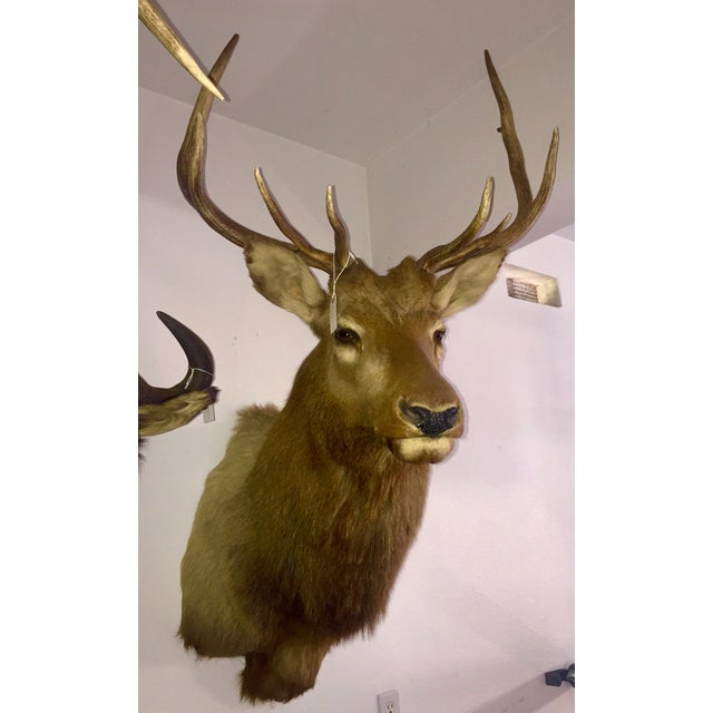 Rocky Mountain Elk Taxidermy Mount - Image 2 of 6