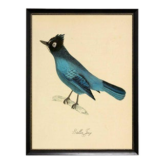 Blue Garrulus Caronatus Framed Print
