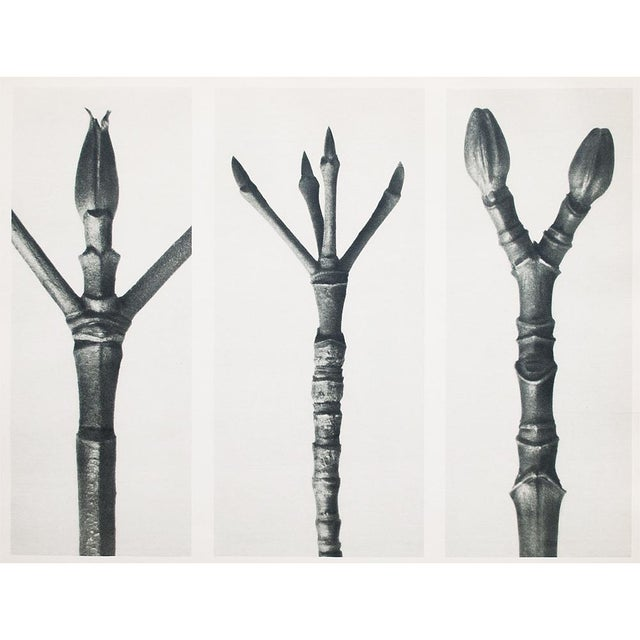 Lithograph 1935 Karl Blossfeldt Photogravure N15-16 For Sale - Image 7 of 9
