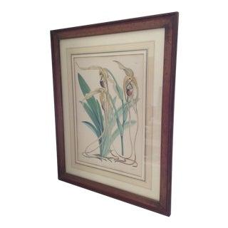 Antique Botanical Cypripedium Orchid Print
