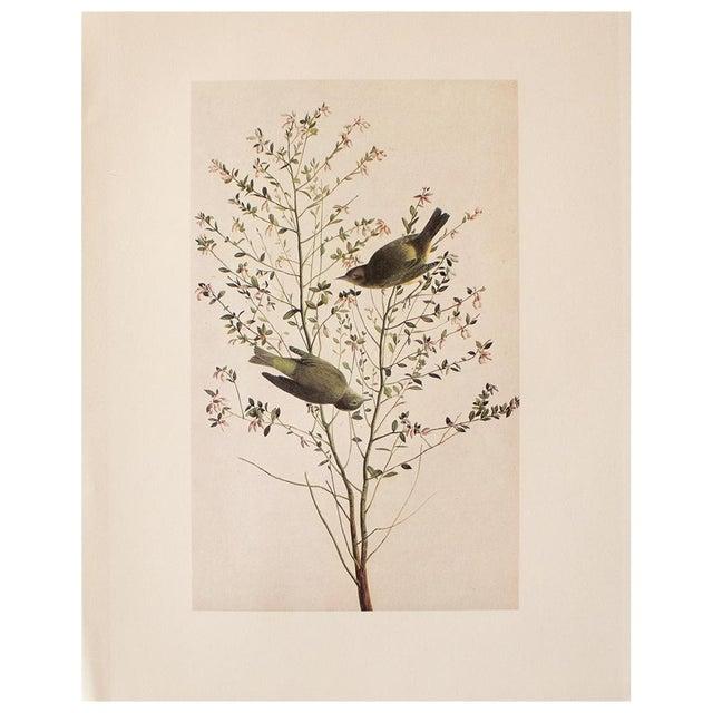 Ecru 1966 Cottage Print of Orange-Crowned Warbler by Audubon For Sale - Image 8 of 8