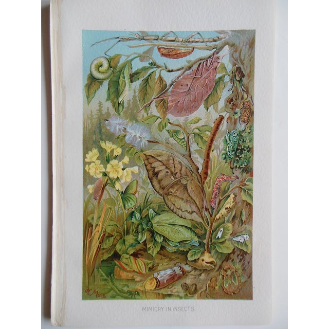 Antique Botanical Creature Lithograph - Image 2 of 3