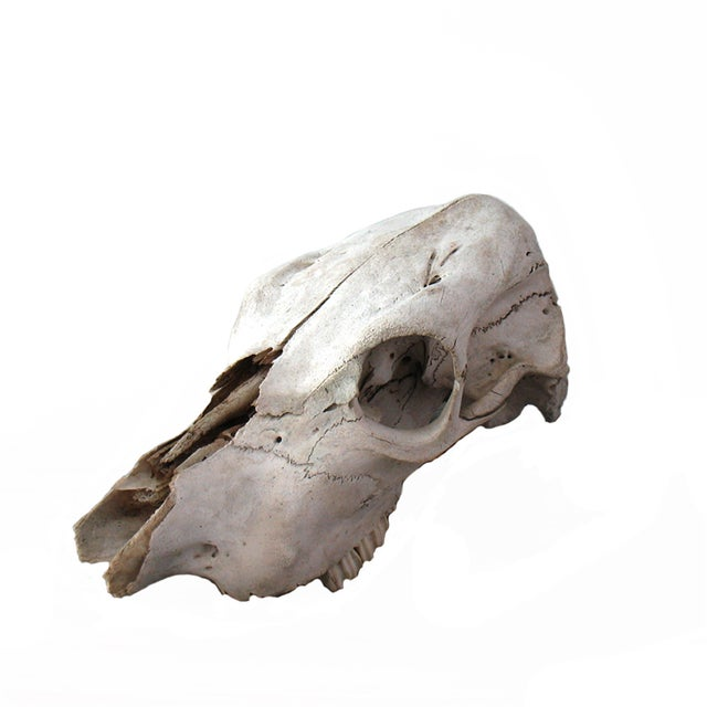 Vintage Cow Skull - Image 1 of 7