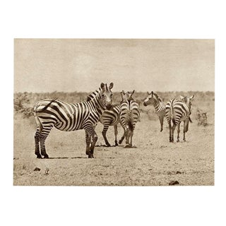 1920s Vintage African Safari Zebra Rotogravure Photographic Print For Sale