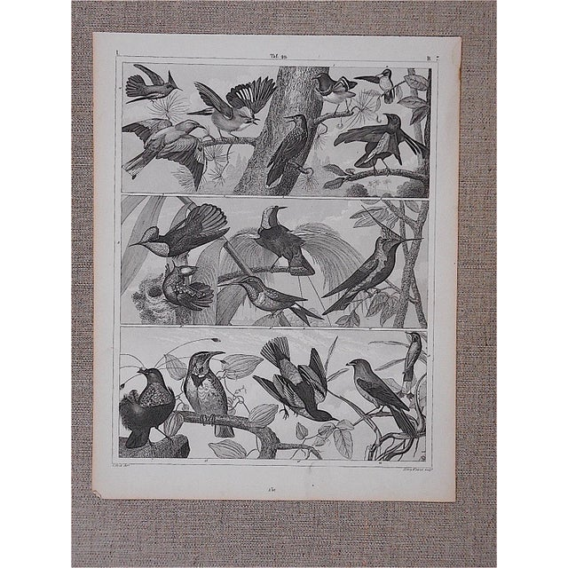 Antique Lithograph-Birds - Image 2 of 3