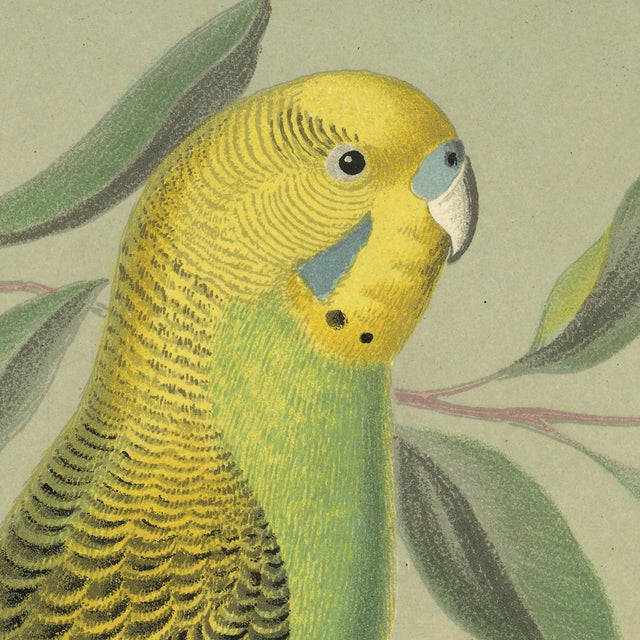 French Antique 'Parakeet' Archival Print For Sale - Image 3 of 3