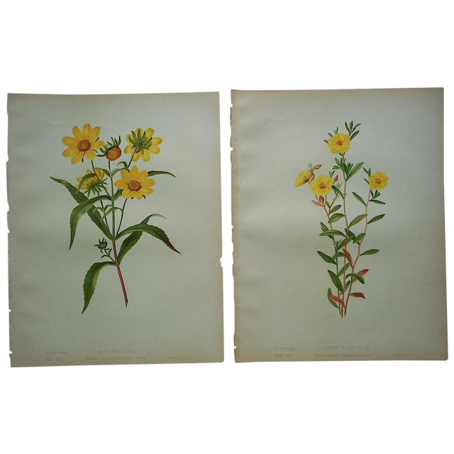 Antique Botanical Lithographs - A Pair - Image 1 of 3