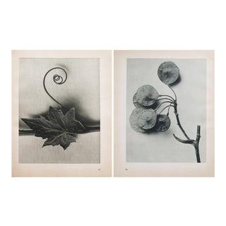 Karl Blossfeldt Double Sided Photogravure N45-46