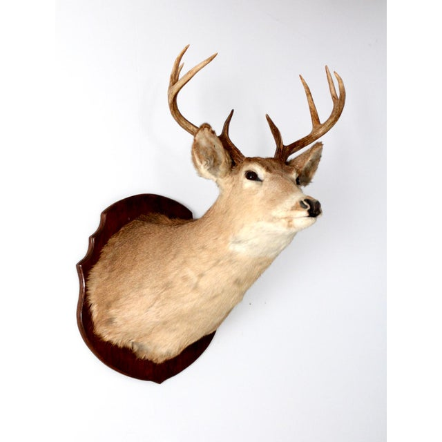 Antique Deer Mount For Sale - Image 5 of 8