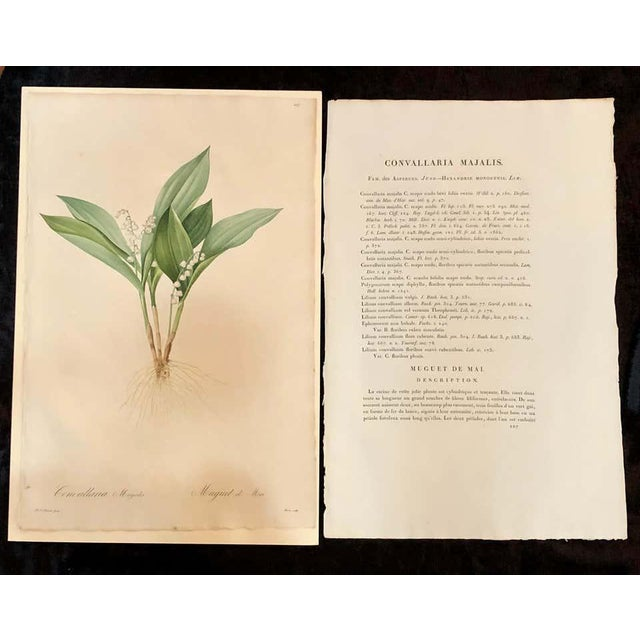 Contemporary Convallaria Majalis Print Hand Colored Engraving Signed p.j. Redoute For Sale - Image 3 of 13