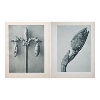 Karl Blossfeldt Double Sided Photogravure N51-52