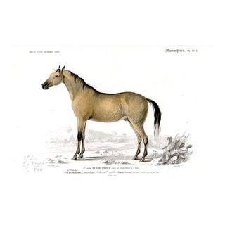 Arabian Horse Print, French, 1849 For Sale