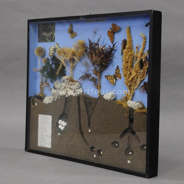 Mid 20th Century School Teaching Display Of Biosphere Of Poor Grassland For Sale - Image 5 of 7