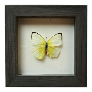 Framed Butterfly Pieridae