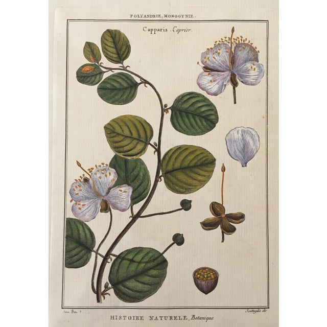 Antique Botanical Hand Colored Etching - Image 1 of 4