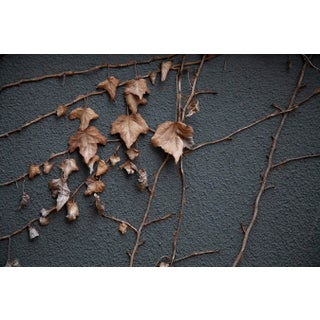 Dried Vines on Wall 02 For Sale