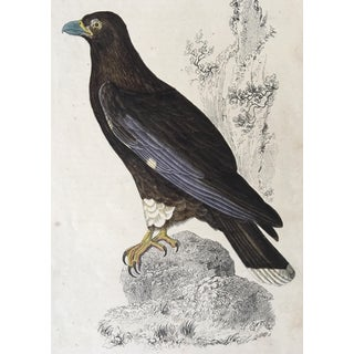 "19th Century ""New Zealand Caracara"" Bird Engraving Print by Oliver Goldsmith For Sale"