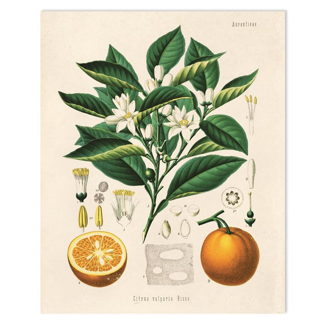 Botanical Orange Citrus Fruit Print Poster - Image 1 of 3