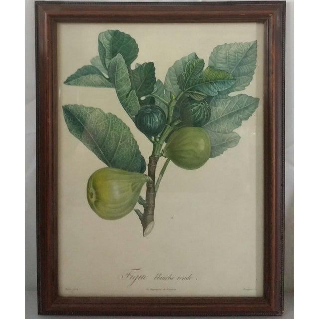 French Botanical Fruit Prints - A Pair - Image 3 of 9