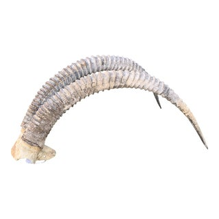 Sable Antelope Horns For Sale